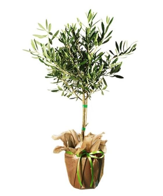 Olivträd - skicka med ett Interflorabud!