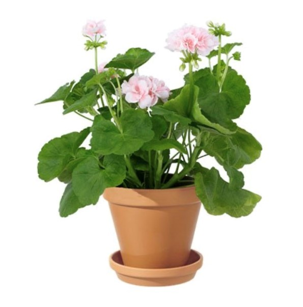 Rosa pelargon i kruka. Du hittar den hos Interflora.