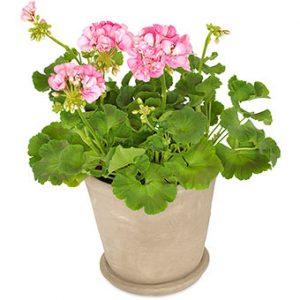 Rosa pelargon i kruka. Beställ blomman i Euroflorists webshop!
