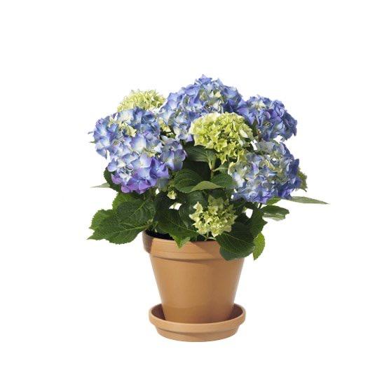 Önska Glad sommar med en blå hortensia! Ett alternativ hos Interflora.