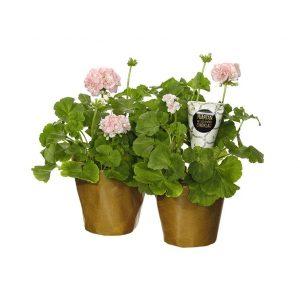 Överraska med ett par rosa pelargoner och choklad! Beställ ditt blomsterbud i Interfloras egen webshop.