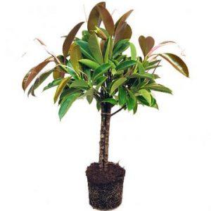 Grön Fikus Melany på stam. En frodig krukväxt. Skicka den med ett blombud från Florister i Sverige!